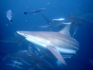 Curso Ecologia Tiburones Onlin